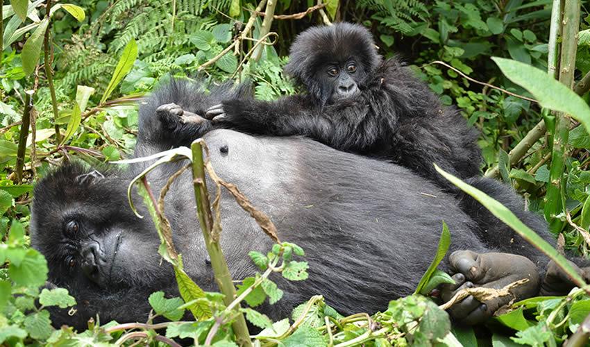 How To Book Gorilla Trekking Permits In Uganda