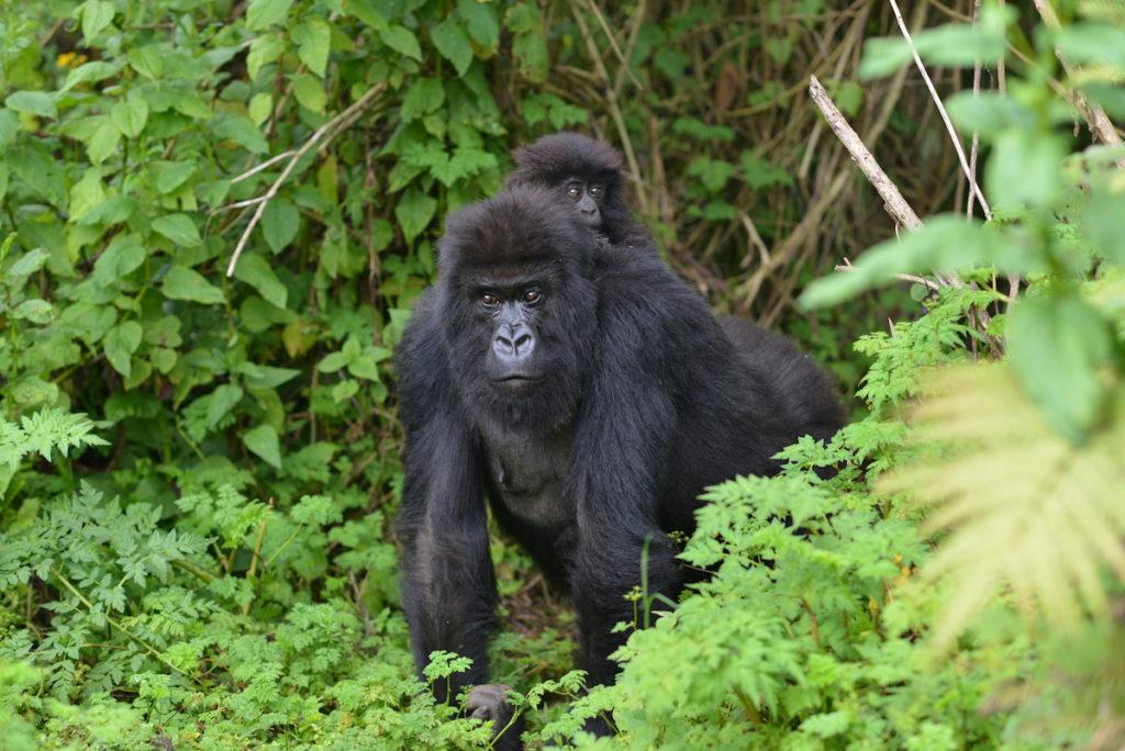 Book Budget Gorilla Safaris In Uganda